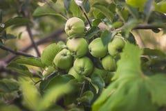 Tonad bild av mogna gröna äpplen som hänger på träd på trädgården Royaltyfri Fotografi