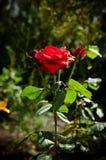 tonade slapp stil för den härliga rosen för fokusträdgårdfotoet röda retro Fotografering för Bildbyråer