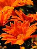 Tonalità arancio di macro della foto struttura del fondo dei colori decorativi luminosi dei petali delle margherite Immagine Stock