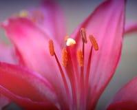 Tonalità del colore rosa Immagine Stock