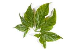 Tonalità di verde sulle foglie decorative brillanti Fotografie Stock Libere da Diritti
