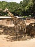 Tonalità diritta dell'albero della giraffa con le piante, montagne, BAC del cielo blu Fotografia Stock Libera da Diritti
