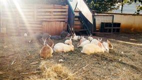 Tonat foto av kaniner på höet på den lilla lantgården royaltyfria foton