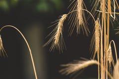 Tonat skott av mogna vetegrova spikar i fält på den soliga dagen Arkivfoto