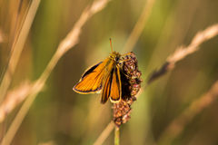 Tone on tone. Butterfly on the field wild plant. Macro photography of wildlife Stock Images