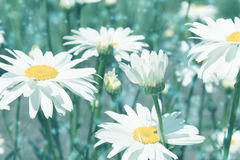 Toned background with daisies Stock Photography