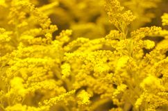 Toned background image of blooming goldenrod/. Toned background image of blooming goldenrod stock photography
