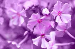 Toned background image of blooming pink Phlox. Toned background image of blooming pink Phlox stock images