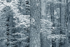 Toned black and white woods Royalty Free Stock Photo
