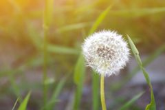 Toned fluffy white dandelion ball. Toned close up of alone fluffy white dandelion ball on a blurred background of green meadow grass in the sunlight stock photos
