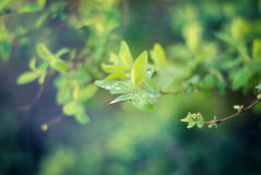 Toned green foliage. Toned abstract green foliage with drops with shallow depth of field Royalty Free Stock Images