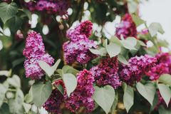 Toned image of beautiful purple Lilac Stock Photos