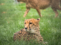 Toned image of cheetah head Stock Images