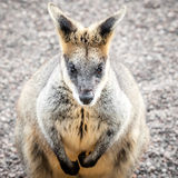 Toned Image of a Cranky Swamp Wallaby Sitting Stock Photo