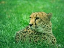 Toned image of lying cheetah closeup Stock Images