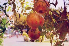 Toned image of pomegranate fruits on a tree. Royalty Free Stock Photos