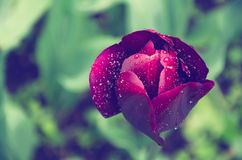 Toned image of a purple Tulip flower on green background closeup.  stock photography