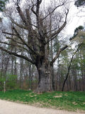 Toned image of 500 year old oak tree in Deutschland Royalty Free Stock Image