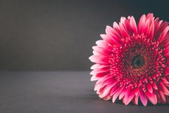 Toned photo. pink bud of gerbera on a dark background stock photos