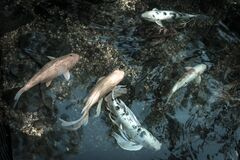 Filtered image mixed color beautiful koi fishes swimming at clear pond in botanic garden near Dallas, Texas, USA
