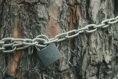 Toned Photo Of Pine And Chain On This Pine Tree Stock Photos