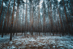 Toned photo of old winter forest at evening Royalty Free Stock Photography