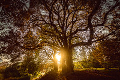 Toned photo of sun shining through big tree at autumn forest Stock Images