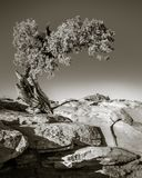 Toned photo of Tree at Dead Horse Point State Park royalty free stock photography