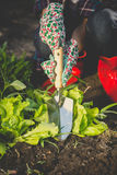Toned photo of woman digging out lettuce with metal spade Stock Image