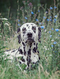 Toned portrait of a cute dog dalmatian laying in the field of fl Royalty Free Stock Photos