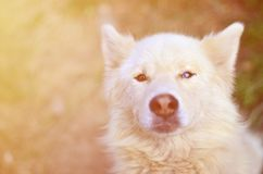 Toned portrait of the White Siberian Samoyed husky dog with heterochromia a phenomenon when the eyes have different colors in t. He daytime outdoors stock image