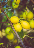 Toned shot of fresh ripe lemons growing on tree Royalty Free Stock Photos