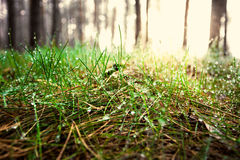 Toned shot of green grass covered by dew at sunny day in forest Stock Images