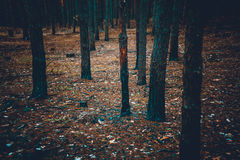 Toned shot of scary dark forest with burnt tree trunks Royalty Free Stock Photos