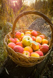 Toned shot of wicker basket full of red apples Stock Photos
