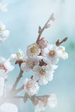 Gentle Spring blossom Stock Image