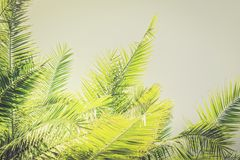 Toned sunlight Palm leaves background with copy space Stock Photo