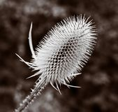Toned thistle head Royalty Free Stock Images