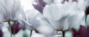 Toned tulips concept Royalty Free Stock Images