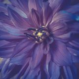 Toned violet colour dahlia flower close-up in summer.  Royalty Free Stock Image