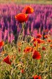 Toneel de zomer kleurrijk gebied van papavers royalty-vrije stock foto's