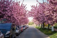 Toneeldie de Lentemening van een Stadsweg door Mooie Sakura Trees in Bloesem wordt gevoerd Stock Afbeelding