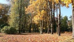 ToneeldieAutumn Park met gouden gevallen esdoornbladeren wordt uitgestrooid stock videobeelden
