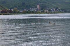 Toneelmening bij de rivier Rijn met een familie van eenden het zwemmen en het dorp van Lorch op achtergrond Stock Afbeelding