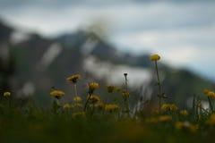 Toneelmening met paardebloemen in de lente stock afbeelding