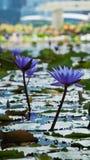 Toneelmening van bloemen zoals waterlelie en het bedrijfsdistrict, de stad van Singapore Stock Afbeeldingen