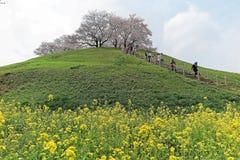 Toneelmening van de mooie bomen van de kersenbloesem op een heuveltop van groene grasrijke weiden onder blauwe zonnige hemel in S Stock Afbeelding