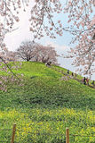 Toneelmening van de mooie bomen van de kersenbloesem op een heuveltop van groene grasrijke weiden onder blauwe zonnige hemel in S Stock Foto