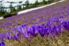 Toneladas de açafrão gigante em um campo de montanhas Carpathian, Ucrânia Fotos de Stock