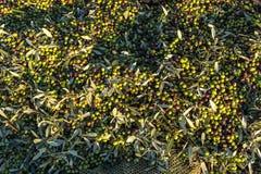 Toneladas de aceitunas después de la cosecha y de la colección foto de archivo libre de regalías
